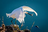 Egret with Dragonfly, Las Gallinas Ponds, San Rafael, CA
