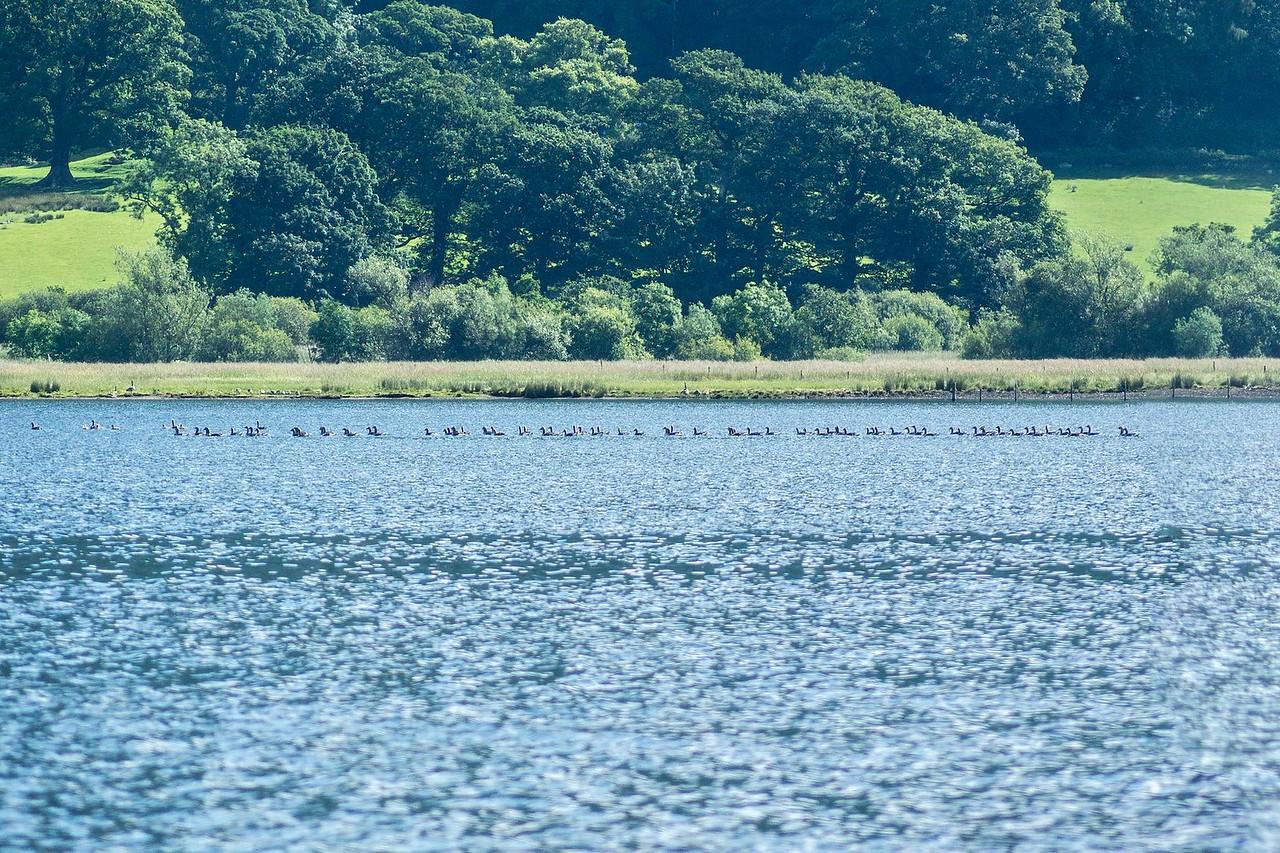 Tue 20th Jun : Bassenthwaite Lake : Greylag Geese
