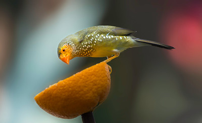 Yellow-Head Star Finch