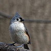 Titmouse @ Highbanks