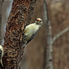 Downy and Red-bellied Woodpeckers @ Highbanks