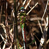 Dragonfly @Adams County - April 2012