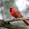 Northern Cardinal @ Home