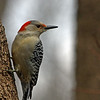 Red-bellied Woodpecker @ Highbanks