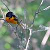 Baltimore Oriole @ Magee Marsh - May 2012