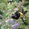 Bee  @ Northam Park (UA-Cols), September 2012