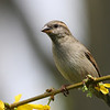 House Sparrow @ Home