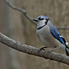 Bluejay @ Highbanks