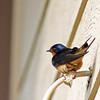 Barn Swallow @ Magee Marsh - May 2012