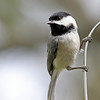 Carolina Chickadee @ Home