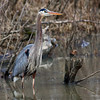 Great-blue Heron @ Dublin Twin lakes