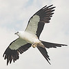 Swallow-tailed kite with wasp nest