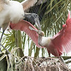 This stork was trying to run the spoonbills out of there nest..They are such mean birds