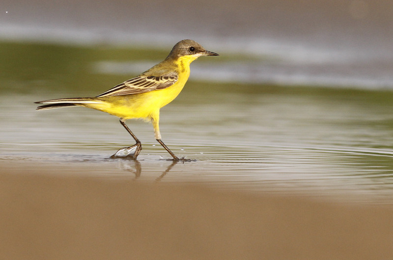 Eastern yellow wagtail, adult breeding, Koh Preah, Mekong River, Cambodia, 4/10/13