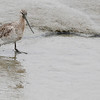 bar-tailed godwit female breeding Song Do, South Korea may 2013