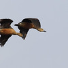 lesser whistling ducks, in-flight, Koh San Touek, Mekong River, Cambodia, April 2013