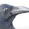 Eastern jungle crow, Koh Preah