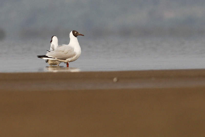brown-headed gulls, Koh Preah, Mekong River, Cambodia, 4/10/13