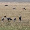 sarus cranes, Anlong Pring