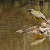 Eastern yellow wagtail, Koh Preah, Mekong River, Cambodia, 4/8/13