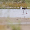 black-winged stilt, Koh Preah, Mekong River, Cambodia, April 2013