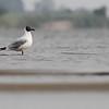brown-headed gull, breeding adult, Koh Preah, Mekong River, Cambodia, 4/8/13