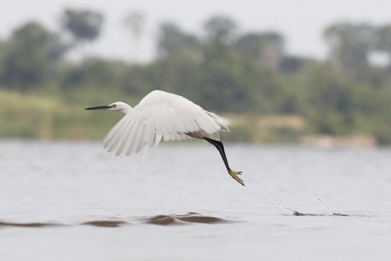 little egret, take-off, Koh Preah, Mekong River, Cambodia, April 2013