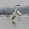 little egrets, Koh Preah, Mekong River, Cambodia, April 2013