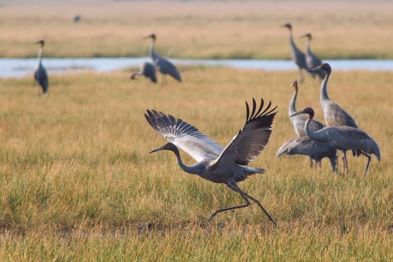 Sarus crane family, Anlong Pring Crane Reserve, Cambodia, 2013