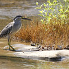 little heron, with snail, Koh Preah, Mekong River, Cambodia, April 2013