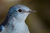 Mountain Bluebird, Male, Portrait, 2013