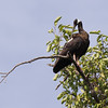 white-shouldered ibis, preening near nest, Koh Preah, Mekong River, Cambodia, April 2013