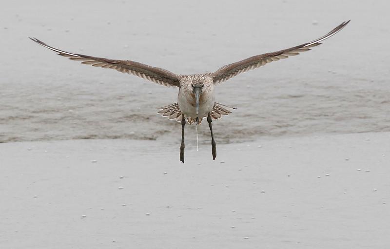 bar-tailed godwit, female, breeding, landing Song Do, South, Korea, May 2013