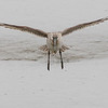 bar-tailed godwit, female, breeding, landing Song Do, South, Korea, May 2013