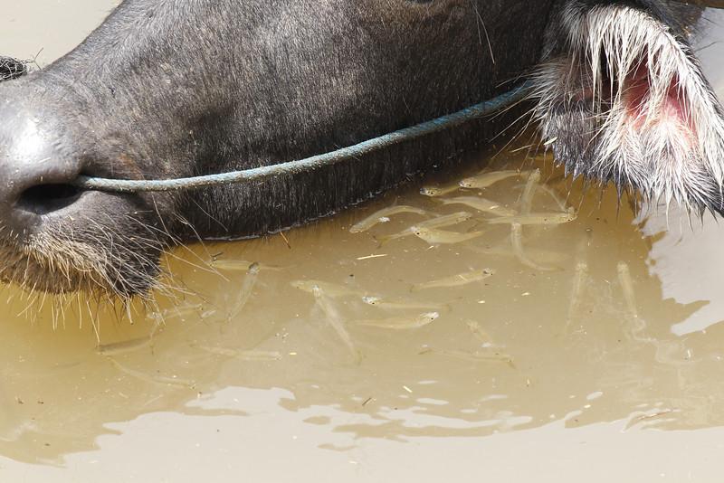 water buffalo amongst fishes, detail, Mekong River, Cambodia, 4/11/13