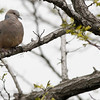 Oriental, turtle, dove,Song, Do, South, Korea, may, 2013