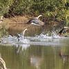 Indian spot-billed ducks, taking off, Koh San Touek Mekong River, Cambodia, April 2013