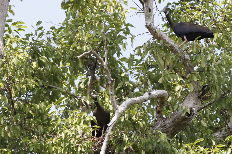 white-shouldered ibis, female on nest male arriving to feed chicks, Koh Preah, Mekong River, Cambodia, April 2013