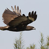 changeable hawk-eagle, dark morph, Mekong River, Cambodia, April 2013
