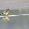 Eastern yellow wagtail, reflection