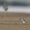broad-billed sandpiper (first record for Mekong River), Koh Preah, Mekong River, Cambodia, April 2013