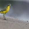 Eastern yellow wagtail (tschutschensis), Koh Preah, Mekong River, Cambodia, April 2013