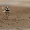 little ringed plover, male, Koh Preah, Mekong River, Cambodia, 4/8/13