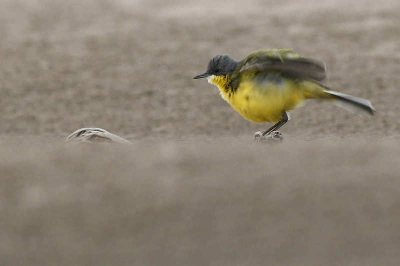 Eastern yellow wagtail (macronyx), Koh Preah, Mekong River, Cambodia, April 2013