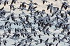 AmericanAvocets_D733962
