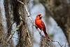 CardinalMale_D738299