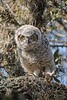 GreatHornedOwl_Chick_D737877