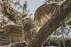 GreatHornedOwl_Chickexe_D737720