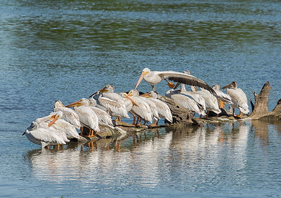 Showoff. Pelicans on the Iowa River. Honorable Mention, N4C Nature Prints, February 2016