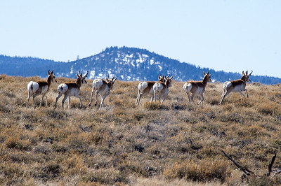 22618-pronghorns2-900@2x